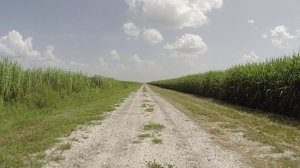 sugarcane road